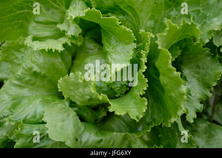 Close up of fresh green lettuce in a garden - Stock Photo