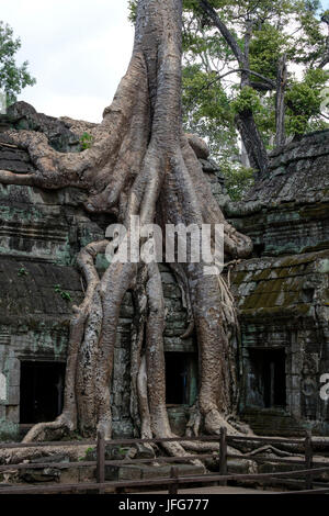 Tree root engulfing stone wall at the Ta Prohm temple, Siem Reap province, Cambodia