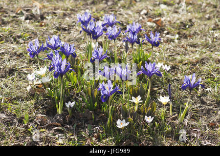 Iris reticulata, Dwarf Iris - Stock Photo