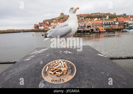 England, Yorkshire, Whitby, Seagull and Cigarette Butts - Stock Photo