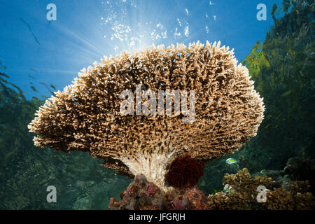 Table coral on reef roof, Acropora sp., Marovo lagoon, the Solomon Islands - Stock Photo