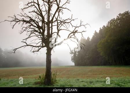 Morning fog on the Höri, dead fruit-tree, Lake of Constance, underlake, Baden-Wurttemberg, Germany - Stock Photo