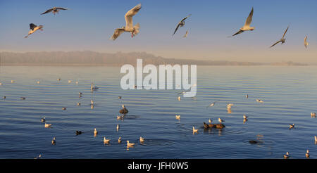 Black-headed gulls, Chroicocephalus ridibundus, with evening light in the lake - Stock Photo