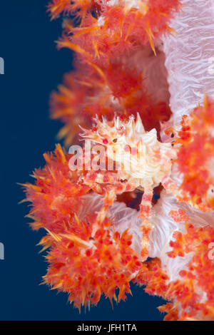 Weichkorallen-spinning crab, Hoplophrys oatesii, ambon, the Moluccas, Indonesia - Stock Photo