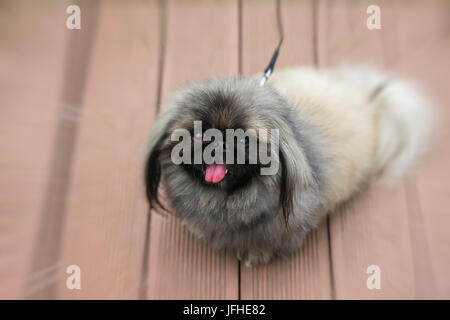 Fluffy Pekingese Dog sits on wooden pavement. Small black eyes look attentively at their master. Concept of friendship - Stock Photo