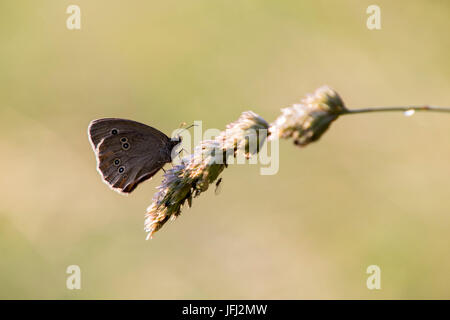 ringlet butterfly on a blade of grass - Stock Photo
