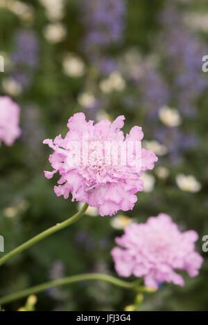 Scabiosa africana 'Jocelyn'. African scabious 'Jocelyn' flower - Stock Photo