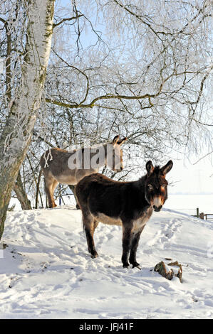 Two donkeys brown and grey under frost-covered birches on wintry belt - Stock Photo