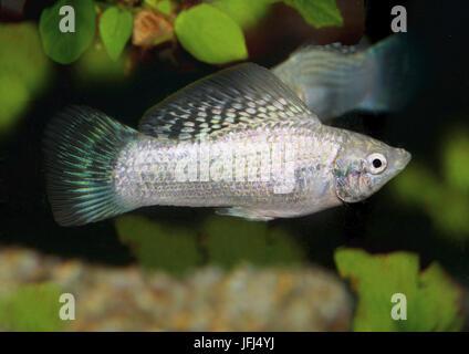 Yucatan molly, Poecilia velifera, Mollinesia, live-bearing, Yucatan, - Stock Photo