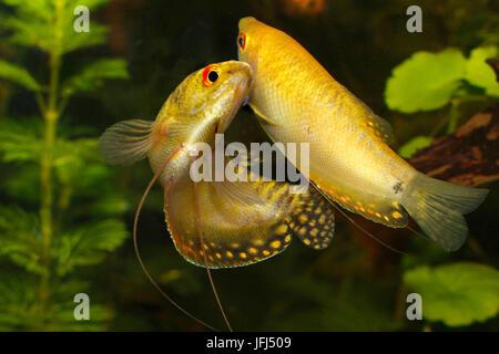 golden gourami, Trichogaster trichopterus, Anabantoidei, couple - Stock Photo