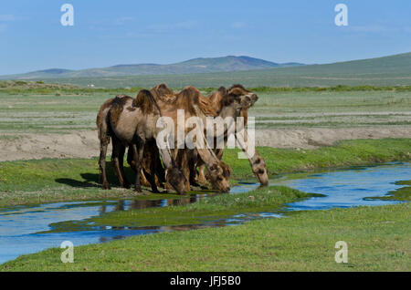 Mongolia, Central Asia, in the Dashinchilen palace ruin of Choghtu Khong Tayiji (Tsogt Taij), camels - Stock Photo