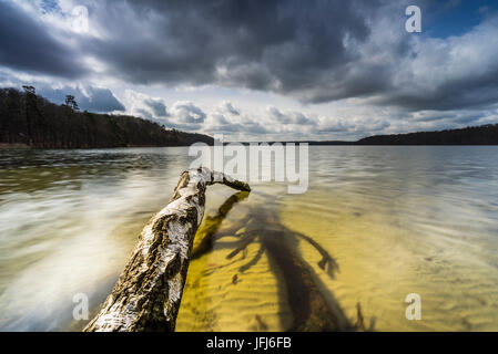 Dead trees on the edge of the Großer Stechlinsee, Neuglobsow, Stechlin, Brandenburg, Germany - Stock Photo
