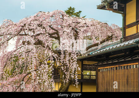 Japan, Kyoto City, cerry blossoms - Stock Photo