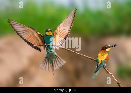 bee-eater in flight with prey, Trentino Alto-Adige, Italy - Stock Photo