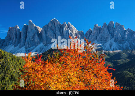 Colorful autumn trees frame the group of Odle, St. Magdalena Funes Valley South Tyrol Dolomites Italy Europe - Stock Photo