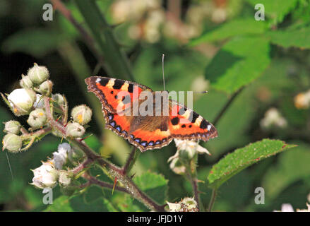 A Small Tortoiseshell butterfly, Aglais urticae, nectaring on bramble. - Stock Photo