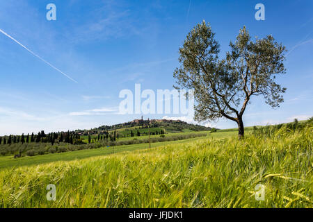 Oliove tree and Pienza on the background, Orcia Valley, Siena district, Tuscany, Italy, - Stock Photo