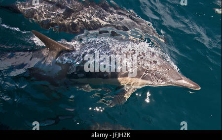 Short-beaked common dolphins,Delphinus delphis, bow-ride in front of a ship. Bubbles can be seen streaming from - Stock Photo