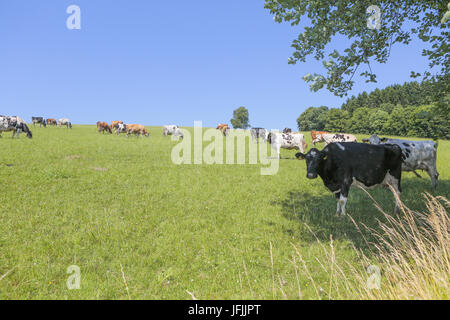 milk cow - Stock Photo