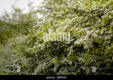 whitethorn, hawthorn abloom - Stock Photo