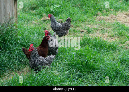 Foraging chickens - Stock Photo