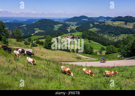 Biker on solo bicycle road trip with cattle grazing on grass fields - Stock Photo