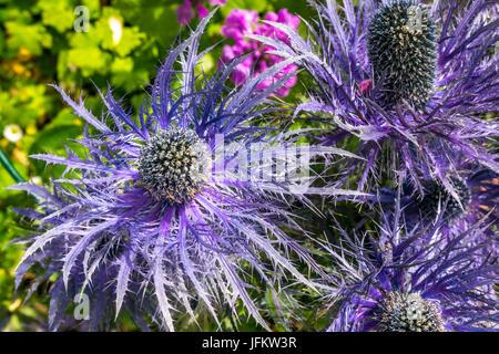 Close up of purple alpine sea holly Eryngium Alpinum Superbum - Stock Photo