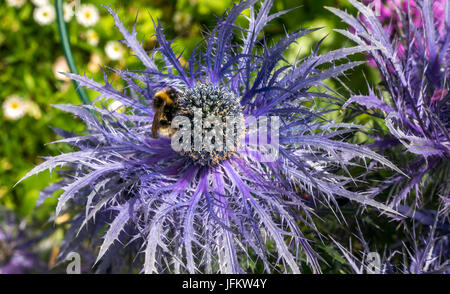 Close up of bee on purple alpine sea holly Eryngium Alpinum Superbum - Stock Photo