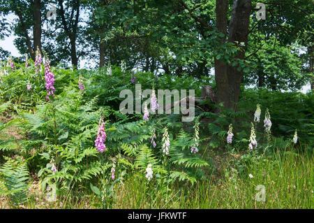 Common foxglove (Digitalis purpurea) and Bracken (Pteridium aquilinum) in deciduous forest, Emsland, Lower Saxony, - Stock Photo