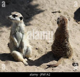 Two Meerkat standing alert - Stock Photo