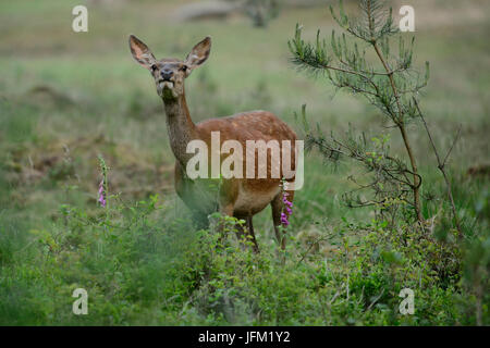 Red deer hind smelling in the air, with foxglove flowers. Hoge Veluwe National Park, Netherlands - Stock Photo