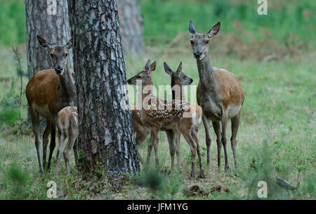 Group of two female red deer and three calfs. Hoge Veluwe National Park, Netherlands - Stock Photo