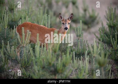 Roe deer female between youne pine trees. Hoge Veluwe National Park, Netherlands - Stock Photo