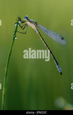 Emerald Damselfly or Common Spreadwing (Lestes sponsa) with dew on a misty summer morning. - Stock Photo