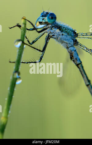 Emerald Damselfly or Common Spreadwing (Lestes sponsa) drinking from a dew drop on a misty summer morning. - Stock Photo