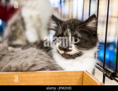 Portrait of one black and white tiny kitten in cage waiting for adoption Stock Photo