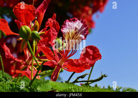 RED FLAMBOYANT close up in Tenerife - Stock Photo