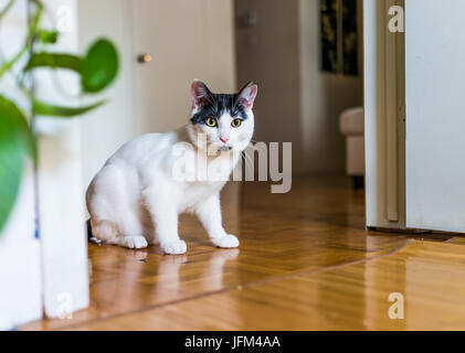 Closeup portrait of black and white cat playing sitting in doorway on hardwood laminate floor - Stock Photo