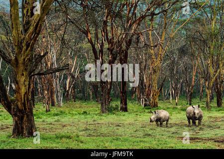 Lake Nakuru reserve, Kenya, Africa Two rhinos, mother and son, photographed in the forest of Lake Nakuru - Stock Photo