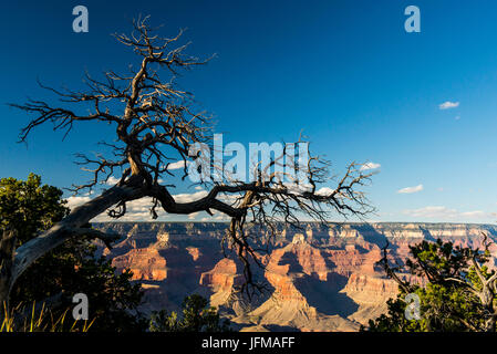 Grand Canyon National Park, Arizona, Usa, A dead tree along South Rim, - Stock Photo