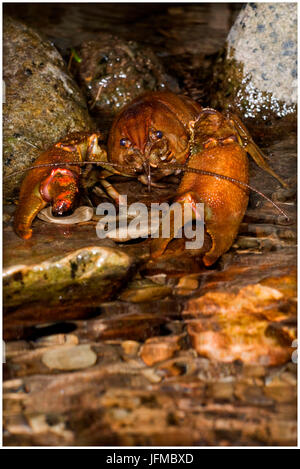 Austropotamobius pallipes is a rare freshwater italian shrimp, Aveto valley, Genoa, Italy, Europe - Stock Photo