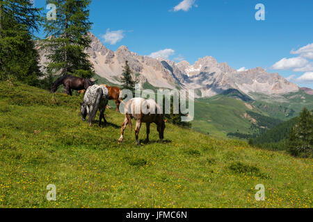 Horses grazing on the green plain on San Pellegrino pass, Dolomites, Trentino Alto Adige, Italy - Stock Photo