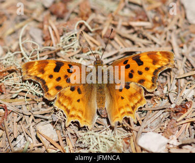 Satyr Comma (Polygonia satyrus) Satyr Comma perched on woodland floor. - Stock Photo