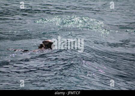 Sea Otters playing in open Alaskan water - Stock Photo