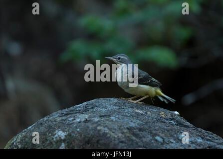 Grey Wagtail, juvenile (Motacilla cinerea), sitting on rock - Stock Photo
