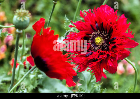 Red Poppies Papaver somniferum ' Seriously Scarlet ' - Stock Photo