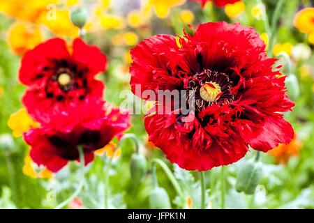 Red Papaver somniferum ' Seriously Scarlet ', poppies flowers in garden - Stock Photo