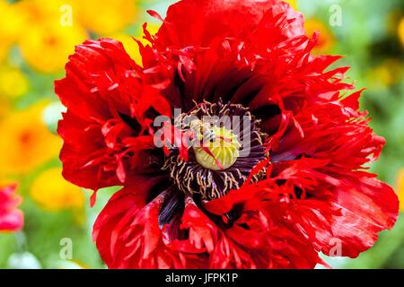 Red Papaver somniferum ' Seriously Scarlet ' close up flower - Stock Photo