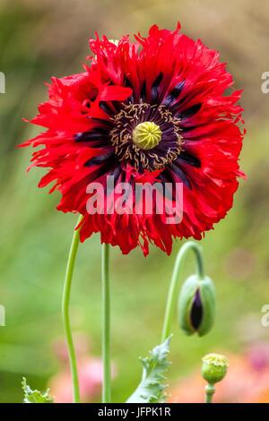 Papaver somniferum ' Seriously Scarlet ' - Stock Photo