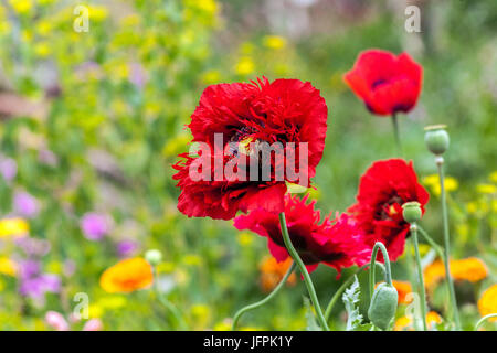 Papaver somniferum ' Seriously Scarlet ', Red poppies - Stock Photo